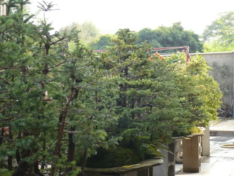 Per gli amanti del bonsai........ P1030410