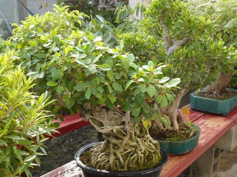 Per gli amanti del bonsai........ P1030411