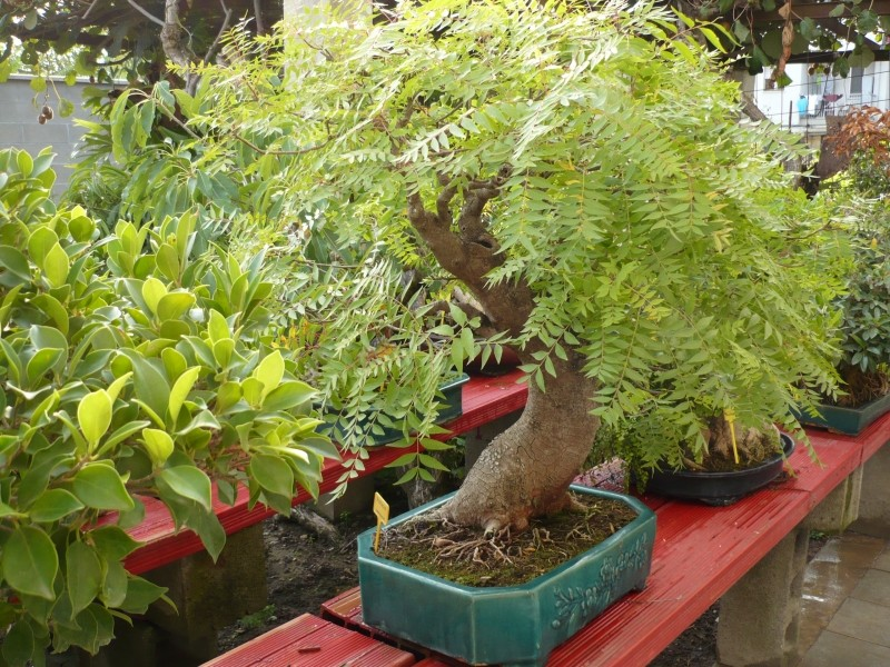 Per gli amanti del bonsai........ P1030412