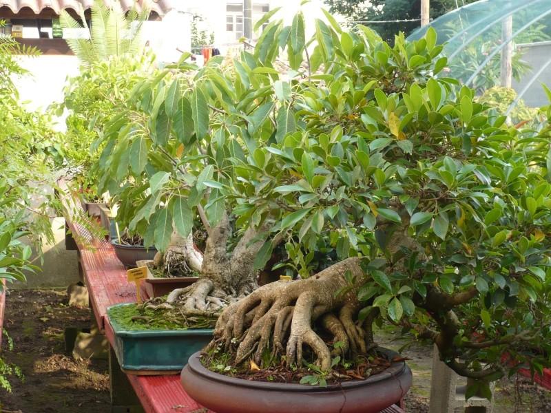Per gli amanti del bonsai........ P1030413