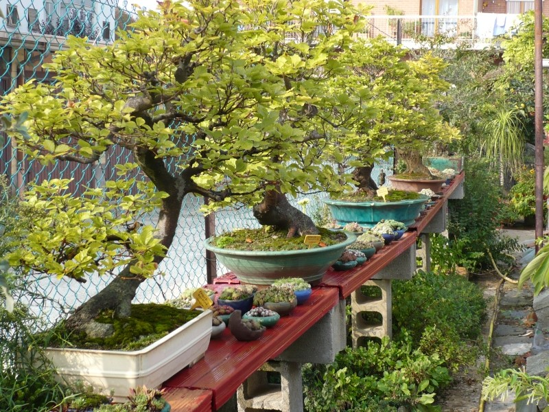 Per gli amanti del bonsai........ P1030414