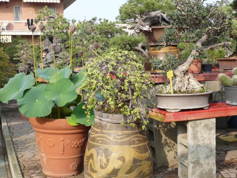 Per gli amanti del bonsai........ P1030416