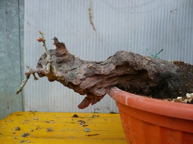 RESTYLING.....Prunus mume. P1050348