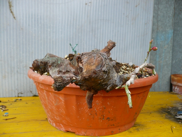 RESTYLING.....Prunus mume. P1050349