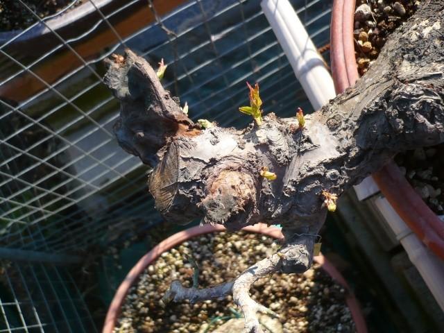 RESTYLING.....Prunus mume. P1050352