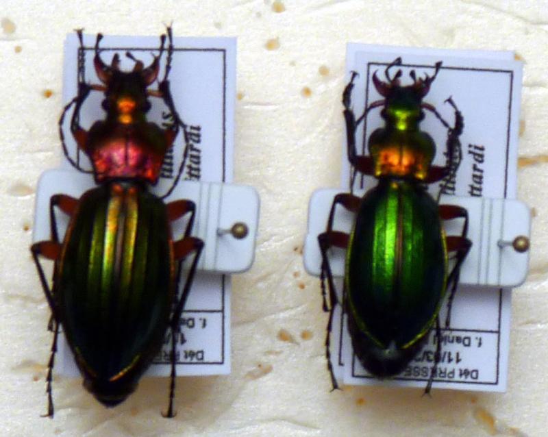 chrysocarabus auronitens, un petit doute P1010110