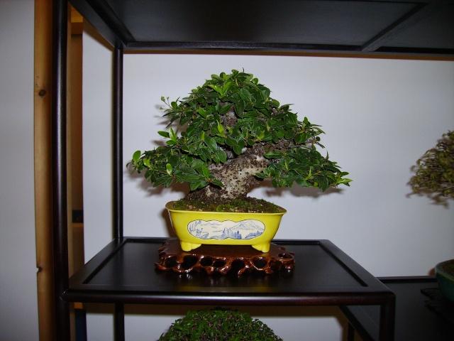 Home made Jiitas for displaying my shohin trees Pict0929