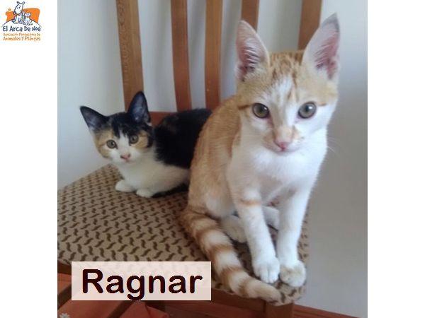 RAGNAR - ROUX ET BLANC - SOLE Ragnar11