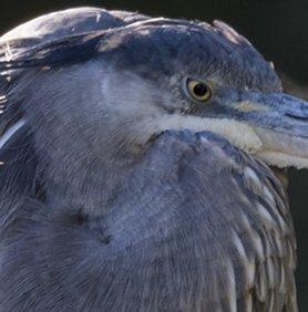Oiseaux divers [Ajout 2 images 1 mars 2018] 40407310
