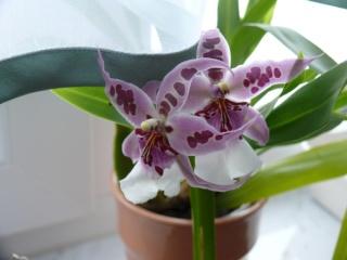 Orchideenblüten 2011 P1090210