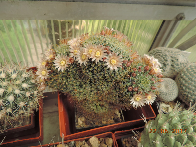 Cacti and Sukkulent in Köln, every day new flowers in the greenhouse Part 183 Bild1004