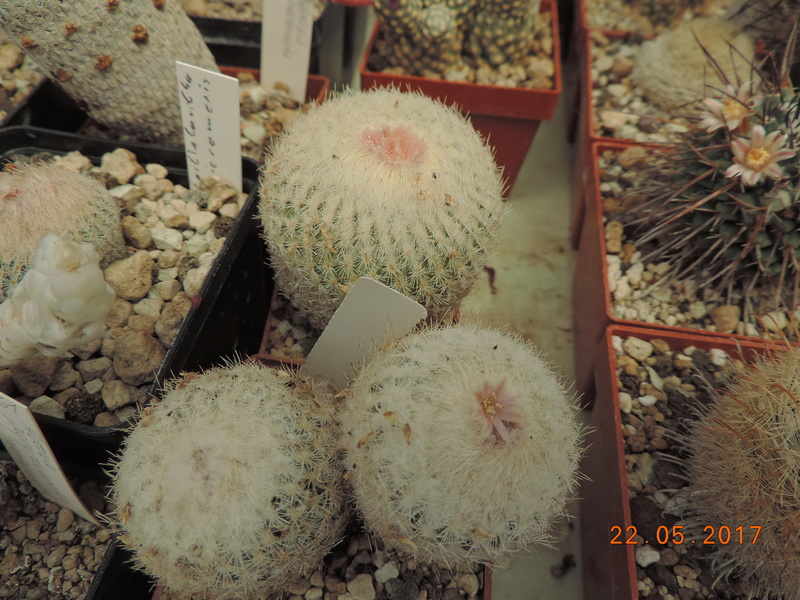 Cacti and Sukkulent in Köln, every day new flowers in the greenhouse Part 183 Bild1006