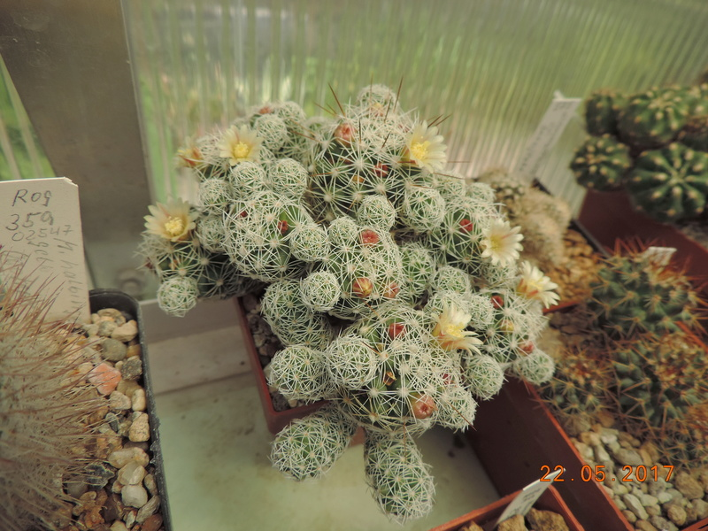 Cacti and Sukkulent in Köln, every day new flowers in the greenhouse Part 183 Bild1008
