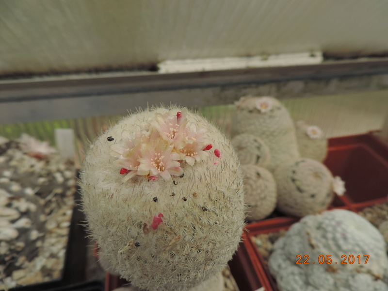Cacti and Sukkulent in Köln, every day new flowers in the greenhouse Part 183 Bild1009