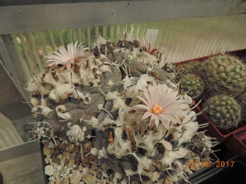 Cacti and Sukkulent in Köln, every day new flowers in the greenhouse Part 183 Bild1011