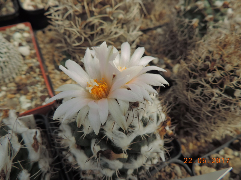 Cacti and Sukkulent in Köln, every day new flowers in the greenhouse Part 183 Bild1012