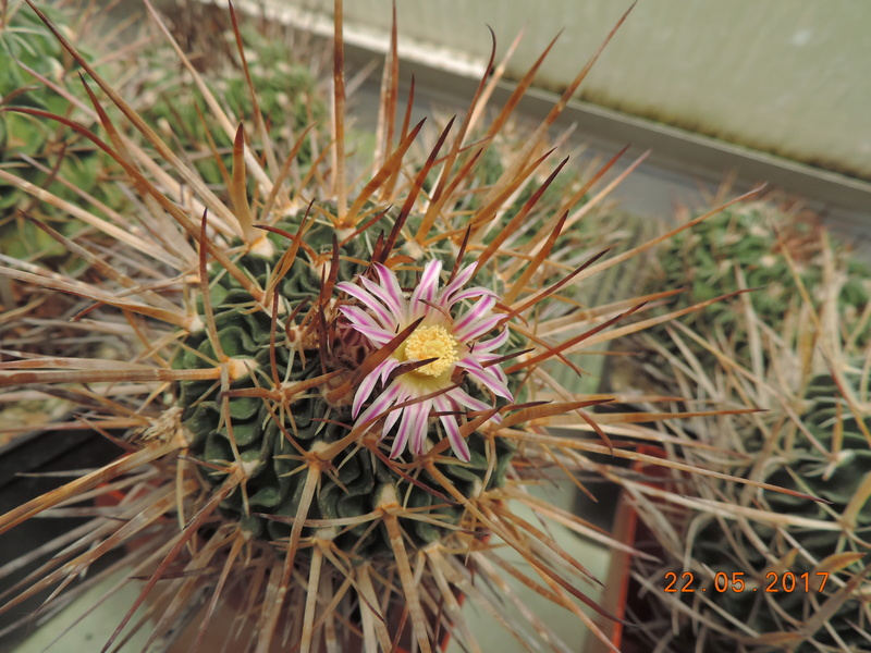 Cacti and Sukkulent in Köln, every day new flowers in the greenhouse Part 183 Bild1013