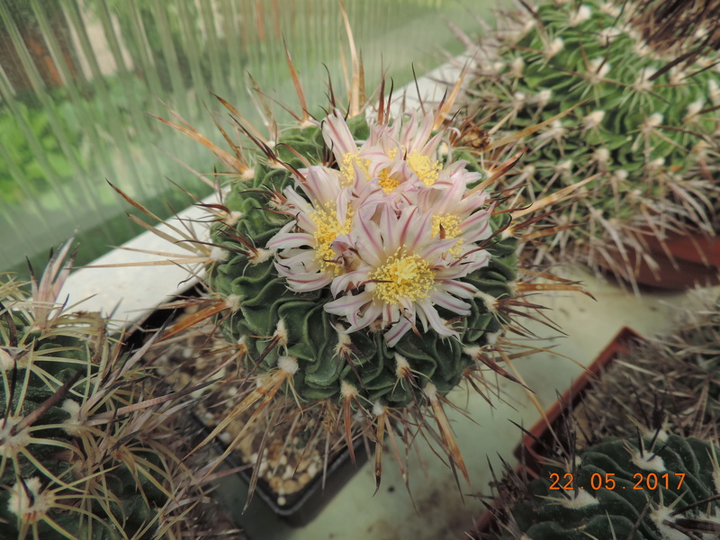 Cacti and Sukkulent in Köln, every day new flowers in the greenhouse Part 183 Bild1017