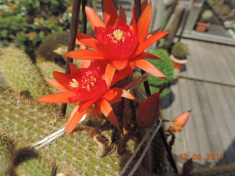 Cacti and Sukkulent in Köln, every day new flowers in the greenhouse Part 183 Bild1020