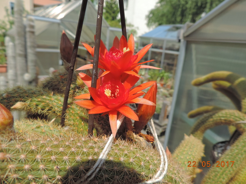 Cacti and Sukkulent in Köln, every day new flowers in the greenhouse Part 183 Bild1022