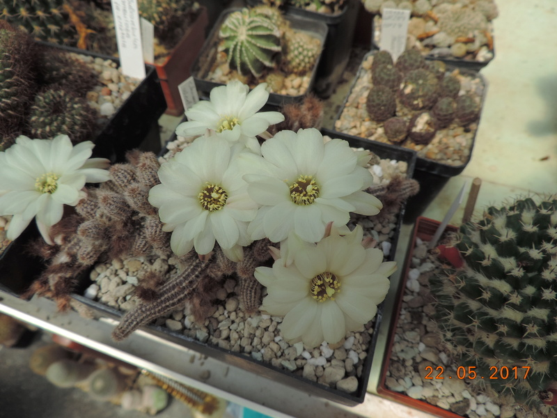 Cacti and Sukkulent in Köln, every day new flowers in the greenhouse Part 183 Bild1026