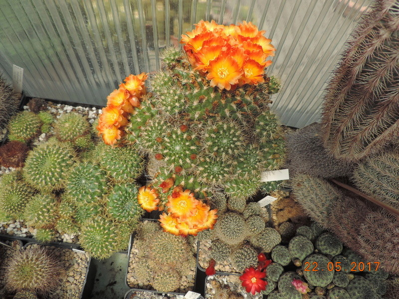 Cacti and Sukkulent in Köln, every day new flowers in the greenhouse Part 183 Bild1027