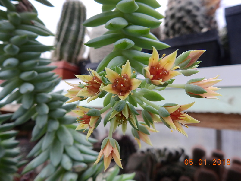 Cacti and Sukkulent in Köln, every day new flowers in the greenhouse Part 184 Bild1036