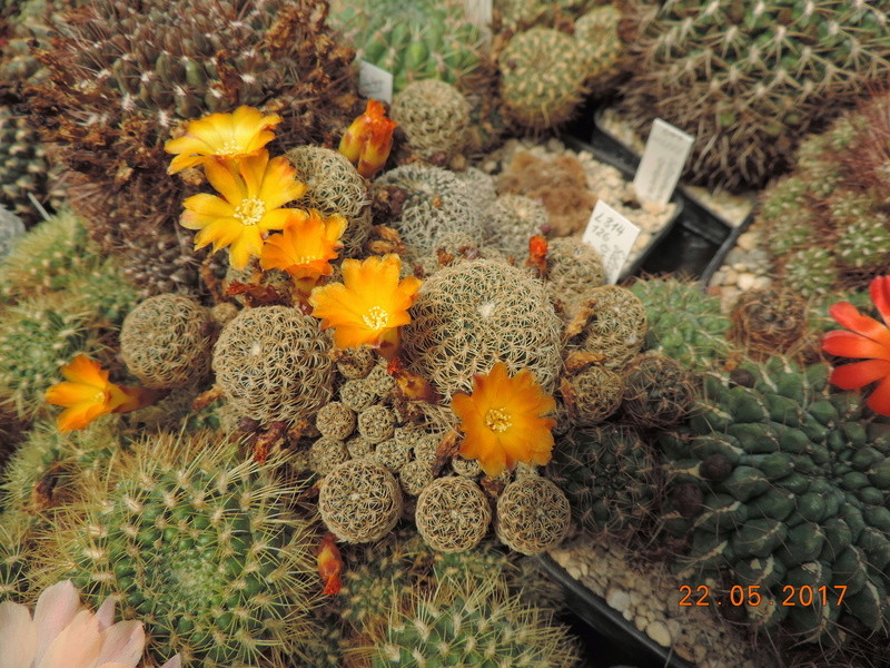 Cacti and Sukkulent in Köln, every day new flowers in the greenhouse Part 184 Bild1072