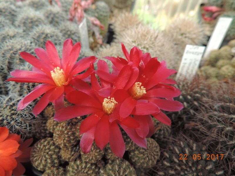 Cacti and Sukkulent in Köln, every day new flowers in the greenhouse Part 184 Bild1073