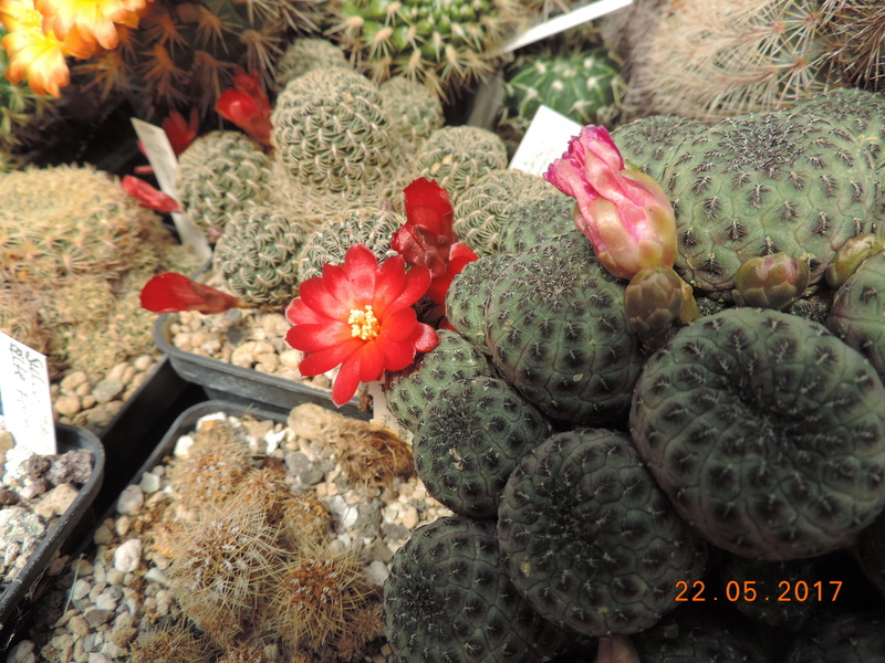 Cacti and Sukkulent in Köln, every day new flowers in the greenhouse Part 184 Bild1074