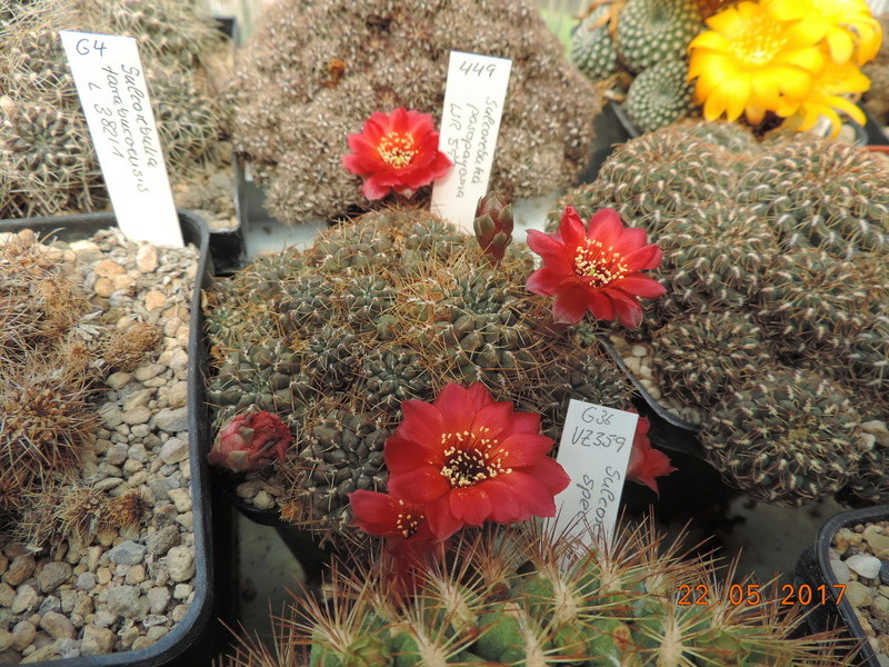 Cacti and Sukkulent in Köln, every day new flowers in the greenhouse Part 184 Bild1075