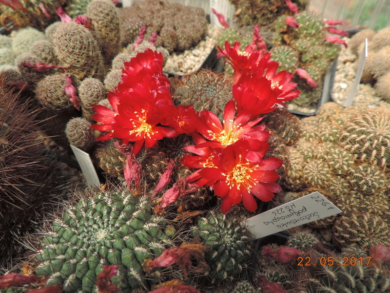 Cacti and Sukkulent in Köln, every day new flowers in the greenhouse Part 184 Bild1082