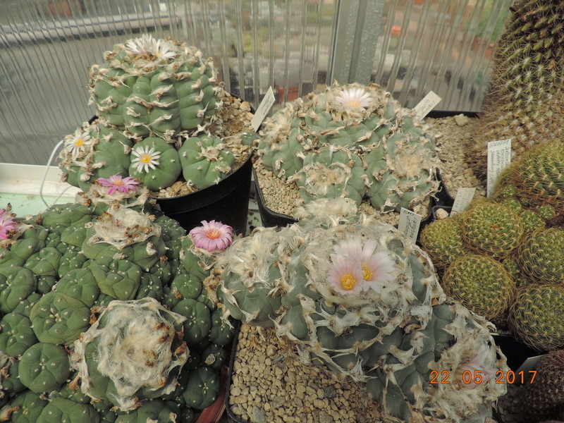 Cacti and Sukkulent in Köln, every day new flowers in the greenhouse Part 184 Bild1083