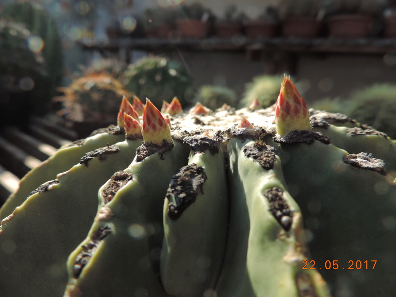 Cacti and Sukkulent in Köln, every day new flowers in the greenhouse Part 184 Bild1092