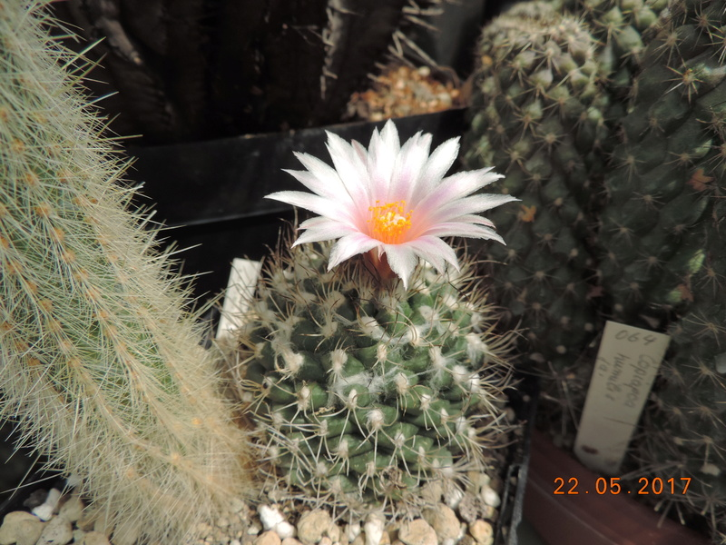 Cacti and Sukkulent in Köln, every day new flowers in the greenhouse Part 184 Bild1093