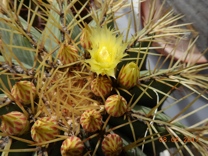 Cacti and Sukkulent in Köln, every day new flowers in the greenhouse Part 184 Bild1115