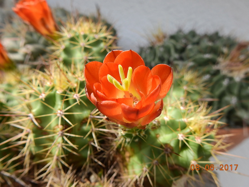 Cacti and Sukkulent in Köln, every day new flowers in the greenhouse Part 184 Bild1117