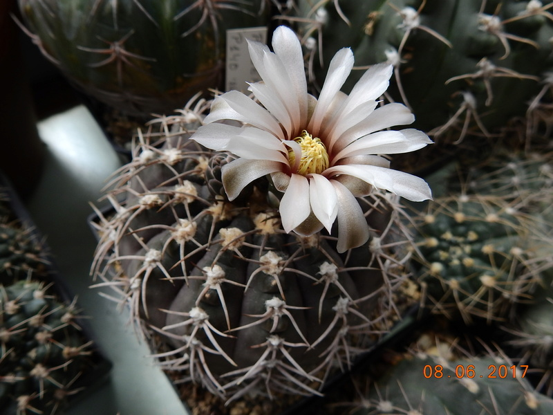 Cacti and Sukkulent in Köln, every day new flowers in the greenhouse Part 184 Bild1118