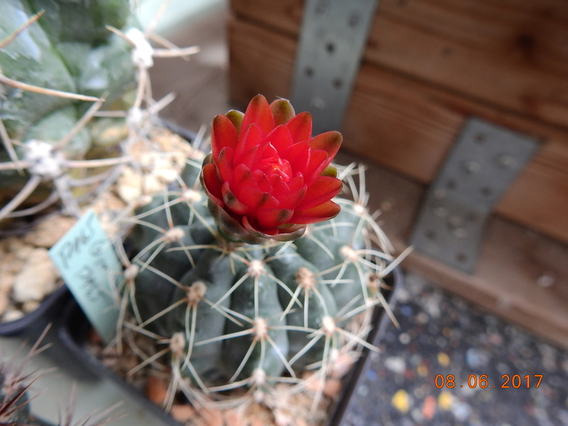 Cacti and Sukkulent in Köln, every day new flowers in the greenhouse Part 184 Bild1120