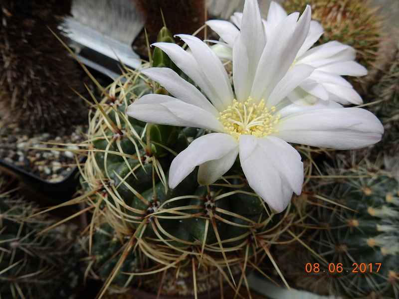 Cacti and Sukkulent in Köln, every day new flowers in the greenhouse Part 184 Bild1123