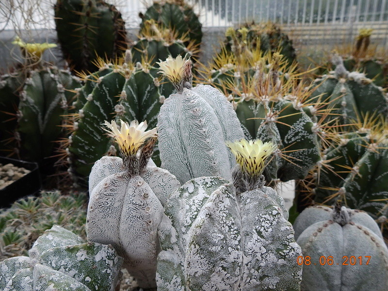 Cacti and Sukkulent in Köln, every day new flowers in the greenhouse Part 184 Bild1130