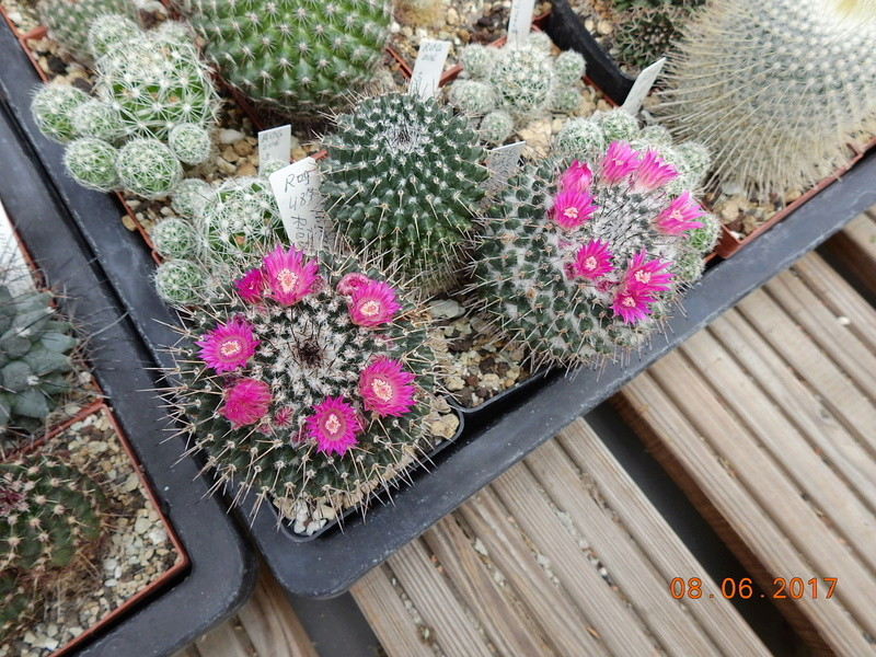 Cacti and Sukkulent in Köln, every day new flowers in the greenhouse Part 184 Bild1132