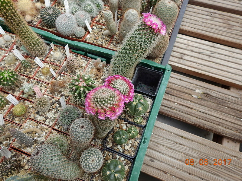 Cacti and Sukkulent in Köln, every day new flowers in the greenhouse Part 184 Bild1133