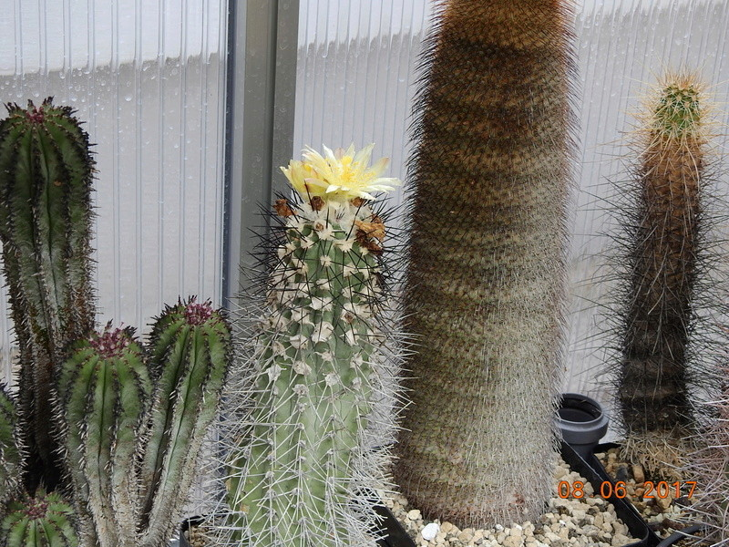 Cacti and Sukkulent in Köln, every day new flowers in the greenhouse Part 184 Bild1134