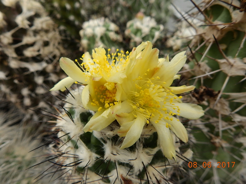 Cacti and Sukkulent in Köln, every day new flowers in the greenhouse Part 184 Bild1139