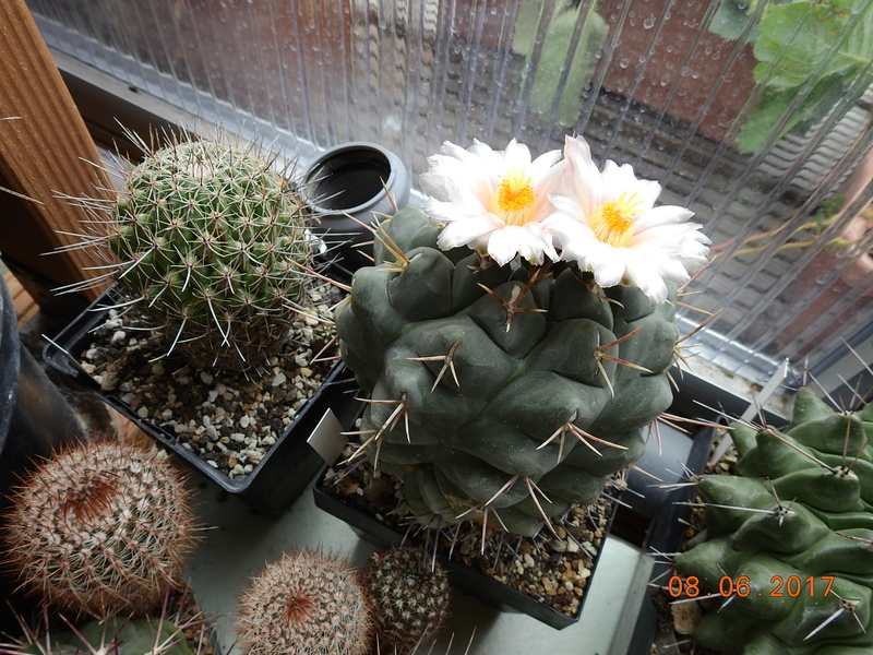 Cacti and Sukkulent in Köln, every day new flowers in the greenhouse Part 184 Bild1141
