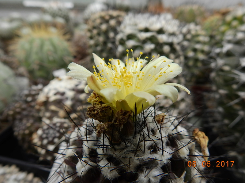 Cacti and Sukkulent in Köln, every day new flowers in the greenhouse Part 184 Bild1142