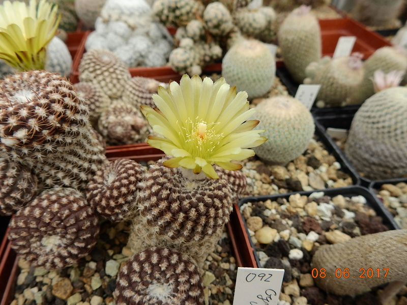 Cacti and Sukkulent in Köln, every day new flowers in the greenhouse Part 184 Bild1144