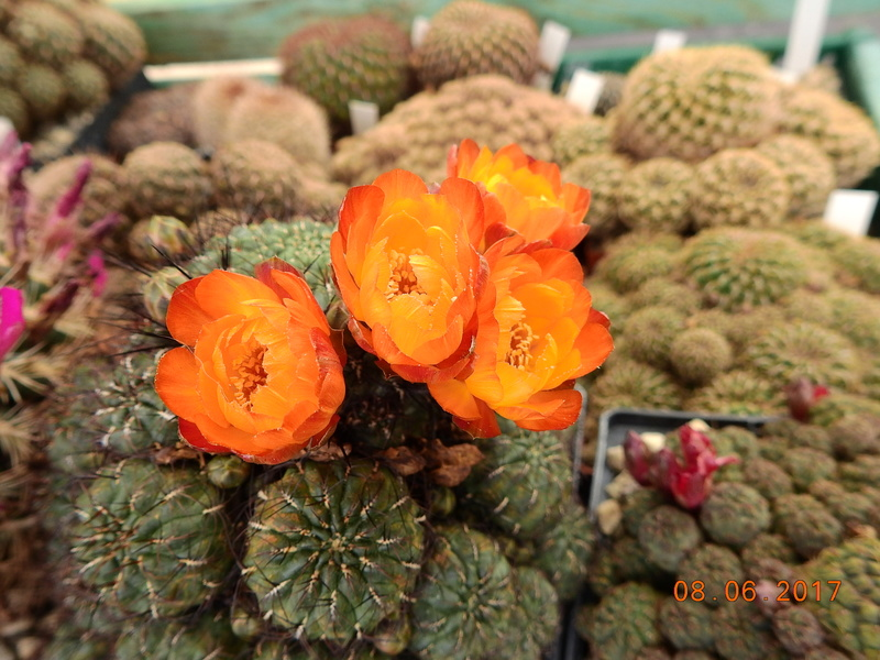 Cacti and Sukkulent in Köln, every day new flowers in the greenhouse Part 184 Bild1160