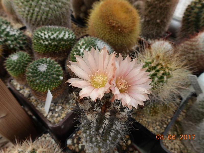 Cacti and Sukkulent in Köln, every day new flowers in the greenhouse Part 184 Bild1164